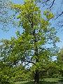 Budai Arborétum. Felső kert. Kocsányos tölgy (Quercus robur). - Budapest.JPG