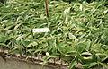 Buddleja davidii rooting of cuttings.jpg