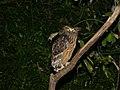 Buffy Fish-owl (Ketupa ketupu) (8071038759).jpg