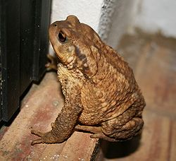 Bufo Bufo on doorstep.JPG