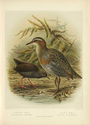 Buff-banded rail - Image: Bul 02Bird P033