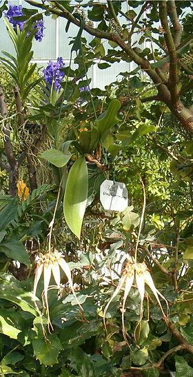 Bulbophyllum ornatissimum OrchidsBln0906.jpg
