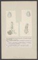 Bullaea planciana - - Print - Iconographia Zoologica - Special Collections University of Amsterdam - UBAINV0274 005 08 0040.tif