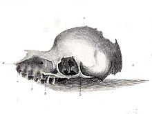 Apparent Bunyip skull