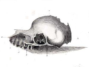 A sketch of a skull with a broad beak and large teeth and a round cranial cavity