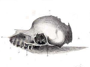 Bunyip - The purported bunyip skull
