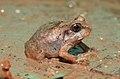 Burrowing Frog Sphaerotheca breviceps juvenile by Dr. Raju Kasambe DSCN7540 (5).jpg