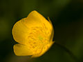 Buttercup (detail) (14256050912).jpg
