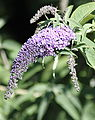 Butterfly-bush (Buddleja davidii) (4843483615).jpg