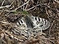Butterfly Im IMG 7199.jpg