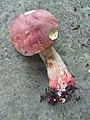 Butyriboletus brunneus 756926.jpg