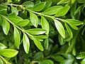 Buxus microphylla Bukszpan drobnolistny 2019-04-28 04.jpg