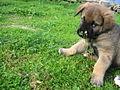 Cão da Serra da Estrela novo2.jpg