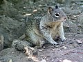 CA Ground Squirrel in front of burrow.jpg
