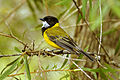 CSIRO ScienceImage 10366 Golden Whistler Jamieson Victoria.jpg