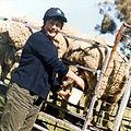CSIRO ScienceImage 1916 Milking a Transgenic Sheep.jpg