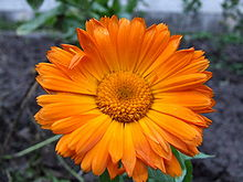 Calendula officinalis.jpg