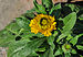 Calendula officinalis 26122014 (1).jpg
