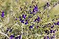 California indigo bush (Psorothamnus arborescens var. simplicifolius) (16768840710).jpg