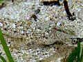 Callionymus risso head.JPG