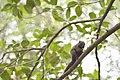 Callosciurus erythraeus thaiwanensis (34345573503).jpg