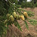 Calocedrus decurrens (young female cones).jpg