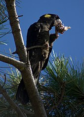 A black cockatoo perching on a branch high in a pine tree. It is standing on its right leg and holding a pine cone in its left food near its beak to eat the pine nuts in the cone.