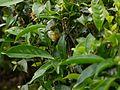 Camellia sinensis (14517254911).jpg