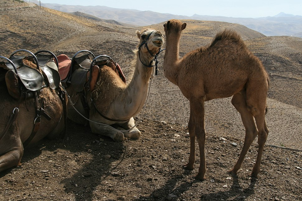 Camels in israel