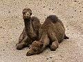 Camelus dromedarius - dromedary - Dromedar - dromadaire - Oasis Park - Fuerteventura - 05.jpg