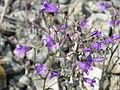 Campanula sibirica flowers.jpg