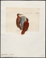 Campephilus pyrrhotis - 1820-1860 - Print - Iconographia Zoologica - Special Collections University of Amsterdam - UBA01 IZ18700143.tif