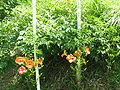Campsis grandiflora 05.JPG