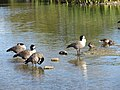 Canada Geese (8235707367).jpg