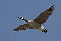 Canada Goose (Branta canadensis) in Morro Bay, CA 10 of 14 (2336548126).jpg