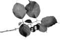 Canada Plum fruiting spray - Keeler.png
