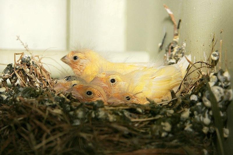 Dosya:Canary chicks.jpg