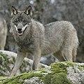 Canis Lupus Signatus (2).JPG