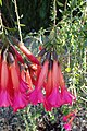 Cantua buxifolia kz01.jpg
