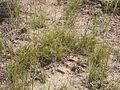 Carex filifolia (3797550622).jpg