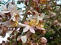Cassia bakeriana (460205595).jpg