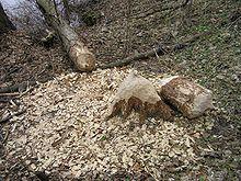 la Castor , ÉCOLOGIQUE SANS LE SAVOIR dans CASTOR 220px-Castor_fiber_tree_felling_2_brok_beentree