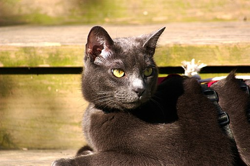 Cat Russian Blue 004.jpg