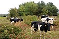 Cattle grazing at Firs Farm (1) - geograph.org.uk - 1493470.jpg