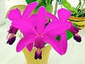 Cattleya violacea tipo.jpg