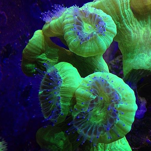 Caulastraea feeding polyps extended