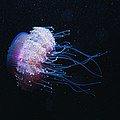 Cauliflour Jellyfish, Cephea cephea, Red Sea (25081216738).jpg