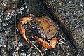 Cave crab (Arachnothelphusa rhadamanthysi).jpg