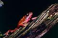 Cayenne Stubfoot Toad (Atelopus flavescens) (10745498486).jpg