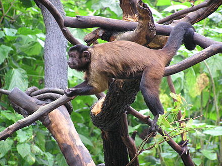 Along with sloth, monkeys such as tufted capuchin (Cebus appella), are one of main prey of Harpy eagle. Cebus appella.jpg